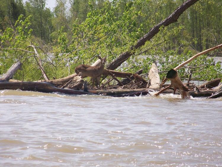 Buck in Flood
