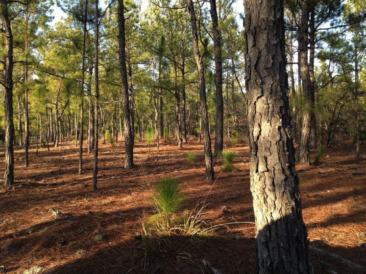 Long Leaf Pine Regeneration – NC
