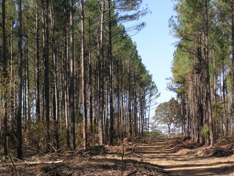 Montsinger Pine Plantation