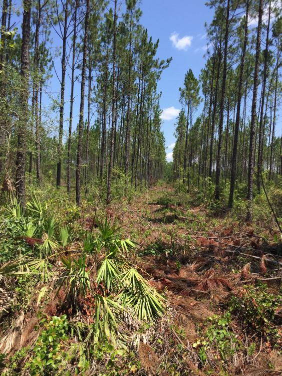 A Recent Slash Pine Thinning on Baker
