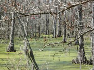 Louisiana Forestlands Swamp